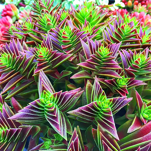 Crassula red pagoda
