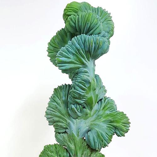 Myrtillocactus cristata