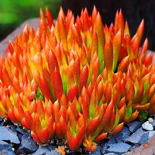 Orostachys japonica